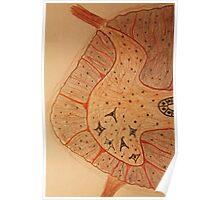 medulla spinalis Poster