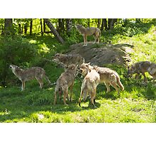 A pack of howling coyotes Photographic Print
