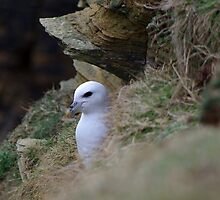 Fulmar nr Yesnaby cliffs by lukasdf