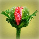 Poppy Detail with raindrops  by ©The Creative  Minds