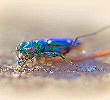Six-Spotted Tiger Beetle - Cicindela sexguttata by MotherNature