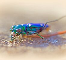Six-Spotted Tiger Beetle - Cicindela sexguttata by MotherNature