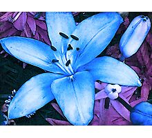 Blue Asiatic Lily Photographic Print