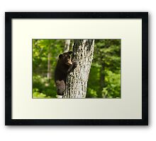 A Black Bear cub in a tree Framed Print