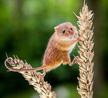Harvest Mice 075 by Alan E Taylor