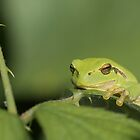 European tree frog (Hyla arborea) by Peter Wiggerman
