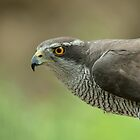 Goshawk by Peter Wiggerman
