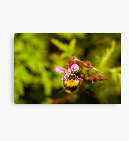 small bumblebee on a pink roberts herb flower Canvas Print