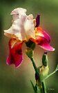 Bellissima by RC deWinter