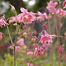 Pink Columbine by Linda  Makiej