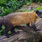 Yellow Throated Marten by JohnYoung