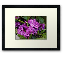 Beautiful Rhododendron Blossoms Framed Print
