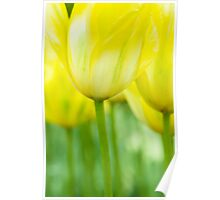 Tulips in Yellow Poster