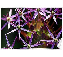 Starry Allium Abstract Poster