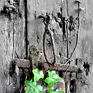Ivy on the old barn door by mikebov