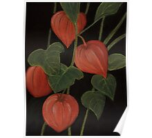 Physalis Poster