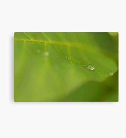 Rain drop on a green leaf Canvas Print