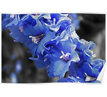 Touch of Blue Delphinium Poster
