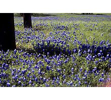 Texas Bluebonnets Among the Trees Photographic Print