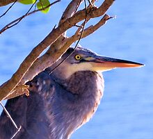 The Great Blue Heron by ©Dawne M. Dunton