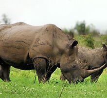 MOTHER & CALF - White Rhinoceros - Ceratotherium sumum -WIT RENOSTER by Magriet Meintjes