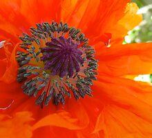 Poppy burst by MarianBendeth