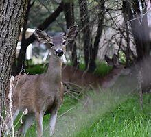 young deer by Kat Murphy-Nemsik