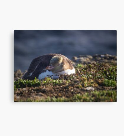 Yellow Eyed Penguin Canvas Print