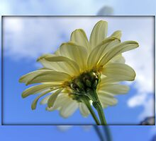 DAISY Reaching for the Sky !!! by AnnDixon