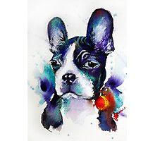 Boston Terrier Photographic Print