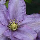 Clematis by Ray Clarke
