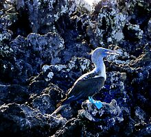 Blue-Footed Booby In The Galapagos by Al Bourassa