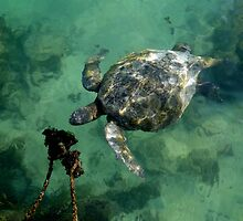 Galapagos Green Sea Turtle by Al Bourassa