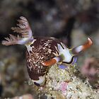 Lined Nembrotha Nudibranch by Mark Rosenstein