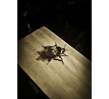 Bombus hortorum (The garden bumblebee) Photographic Print