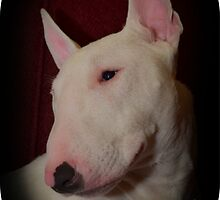 Bull Terrier born to be wild by Christine Photography