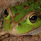 Motorbike frog, Litoria Morei by Trevor Needham