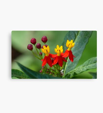 Mexican Butterfly Weed Canvas Print