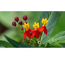 Mexican Butterfly Weed Photographic Print
