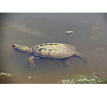 Old Mossy Back Snapping Turtle Photographic Print