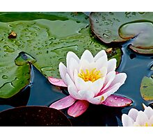 Water Lily (1) Photographic Print