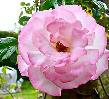 Rose (2) by Hayley Musson