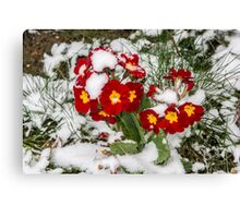 Red Winter flowers in the snow Canvas Print