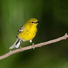 Pine warbler by jamesmcdonald