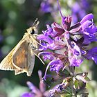 Skipper on Salvia Flower by Sheryl Hopkins