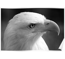 Face of a Male Bald Eagle Poster