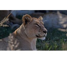Beautiful Lioness Photographic Print