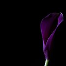The Calla Purple 1 by Steve Purnell