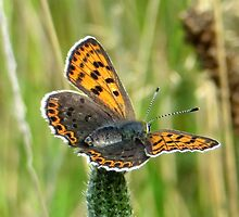 Small Copper by ienemien