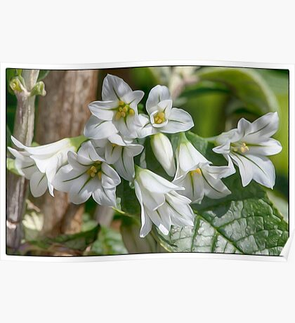 wild garlic flowers Poster